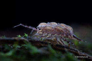Woodlouse Parental Care by melvynyeo