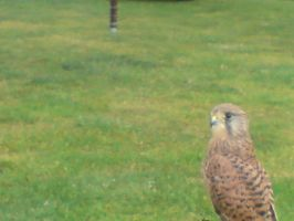 kessy the kestral 12 by x9000