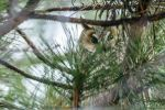 Owl hiding in the trees. by albuemil