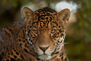 African Leopard by shaunthorpe