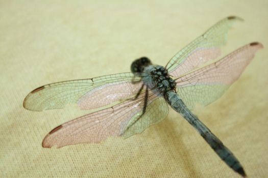 Dragonfly by veronica-annemarie