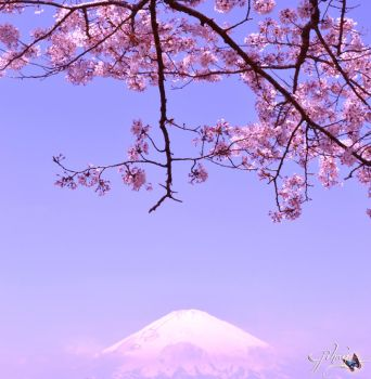 Cherry Blossom and Mt. Fuji by Sakura060277