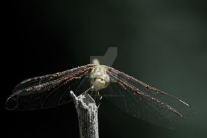 Dragonfly by Astaroth667