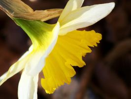 Downward Daffodil by step-after-step