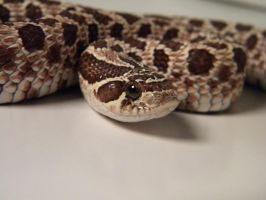Western Hognose 1 by ReptileMan27