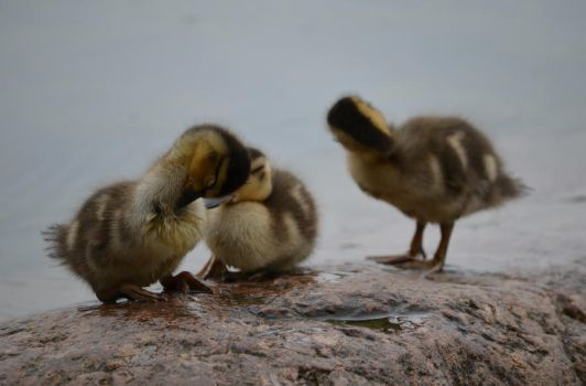 ducklings by Shymoda