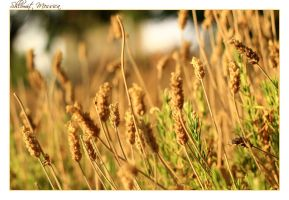 Lavenders at september by ShlomitMessica