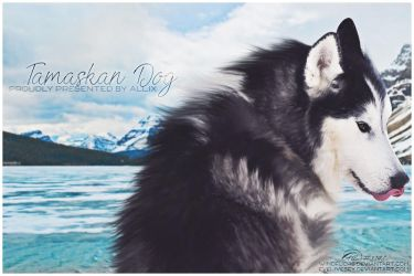 Tamaskan Dog Proudly Presented By Allix by a-llix