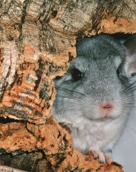 Chinchilla Closeup by Villa-Chinchilla