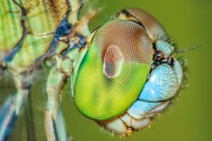 Erythemis simplicicollis eyes by Tairenar