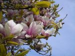 Magnolia by AngelTrent