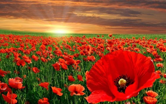 HAPPY REMEMBRANCE DAY - SUNSET, FIELD OF POPPY'S by ROGUE-RATTLESNAKE