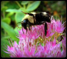 Bee On the Sedum - Macro by JocelyneR