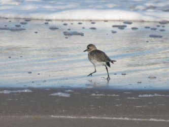 Two-banded Plover by Dragon7274