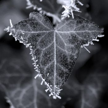 frosted ivy by brabikate