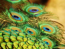 Peacock Feathers by happybg