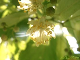 Linden tree blossom by fairyfrog