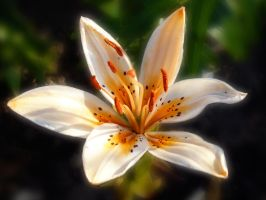 July's Lilly by friartuck40