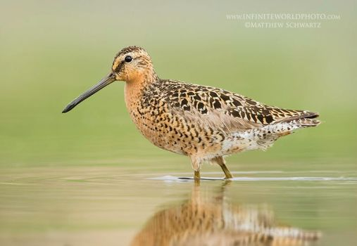 Dowitcher by Nature-Photo-Master