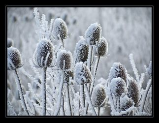 Frozen thistle by iMacThere4iAm