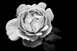 The Rose BW by Flyy1