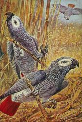 Wild Congo Parrots by Yesterdays-Paper