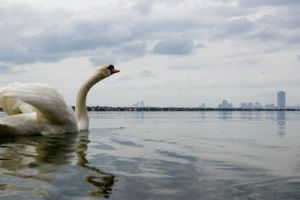 Swan swimming to the city by igorsky