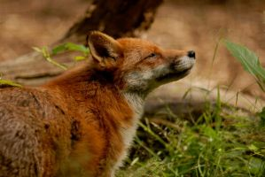 Red Fox 2 by shaunthorpe