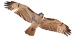 Red Tailed Hawk cutout by EdgedFeather