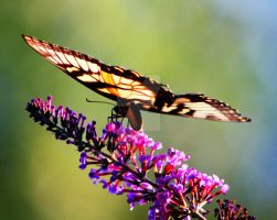 Butterfly bush by jmhamilton