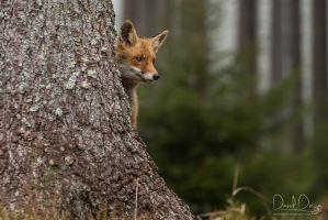 A hiding foxy by Wolfling01