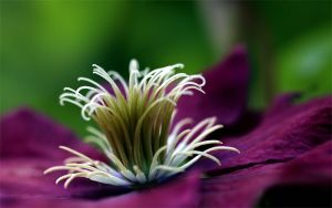 Clematis Complexity by TruemarkPhotography