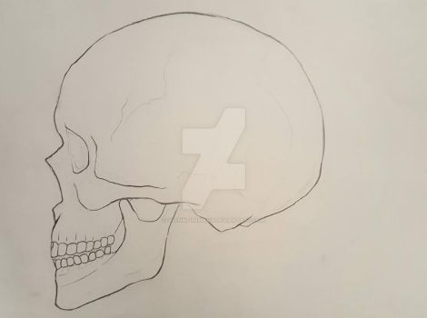 Skull Study Profile View: Contour Drawing by GlennThomasi6
