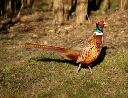 Common Pheasant male by Hannu-H