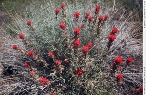 Indian Paintbrush 2 by RoonToo