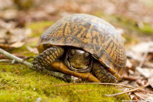 Florida Box Turtle by VirulentMedia