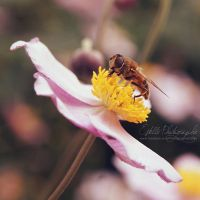 Wasp by Estelle-Photographie