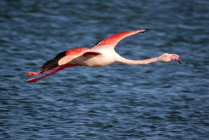 Flamingo in flight by MaresaSinclair