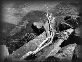 Drift Wood by jerseybrat