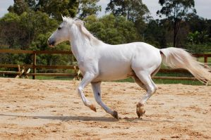 Arab side on gallop by Chunga-Stock