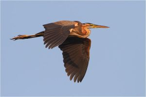 purple heron by nakitez