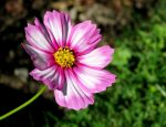 Pink and White Petals... by Michies-Photographyy