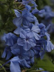 Blue Flowers by HempHat