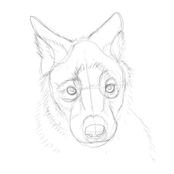 Wolf Pup Practice Sketch 1/4 by RookieBrush