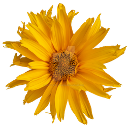 Pretty Yellow Flower PNG by Bunny-with-Camera