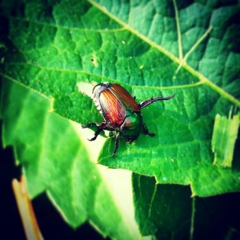 Japanese Beetle by MrsUnderground