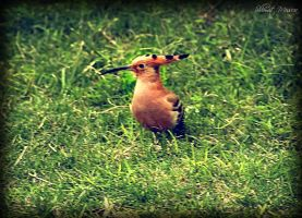 Hoopoe and his crown by ShlomitMessica