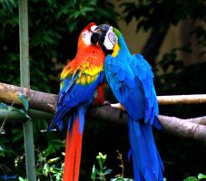 Parrots by Insaril