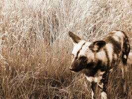 Wilddog in South Africa by Mirey-chan