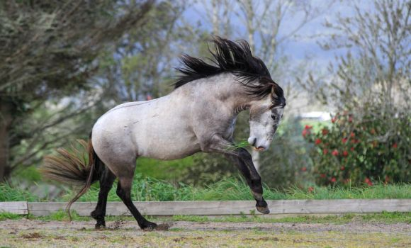 Andalusian Stallion Stock 1 by xxMysteryStockxx